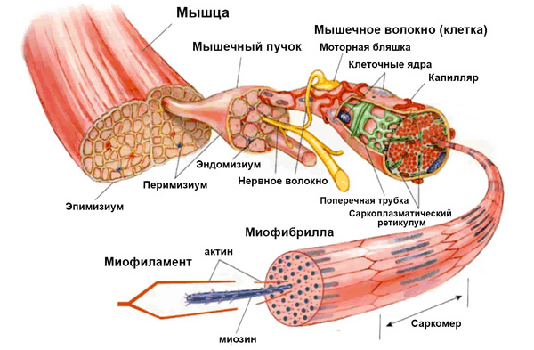 строение мышечной ткани