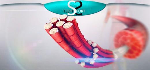Мышечные волокна типы и характеристика