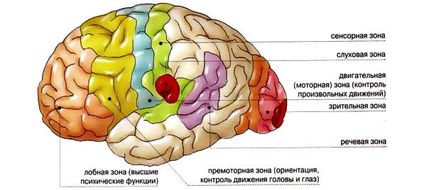 отделы-мозга