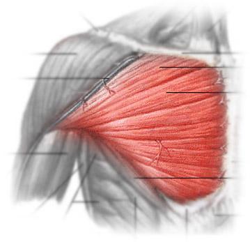 грудь мышца