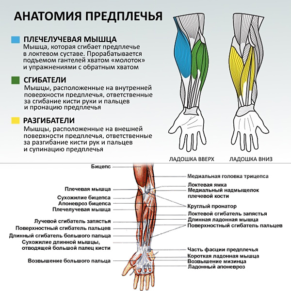 анатомия-руки